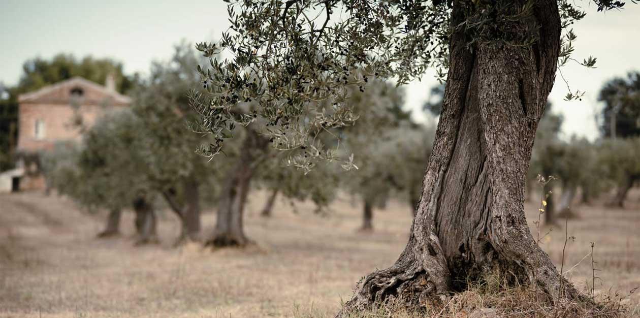 Realizzazione Siti web produttori olio d'oliva: Frantoio Pace Leone - Maingage, Web agency Bari